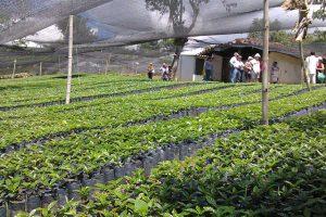 seccion-cultivo3-kafe-loma-verde