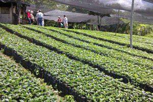 seccion-cultivo4-kafe-loma-verde