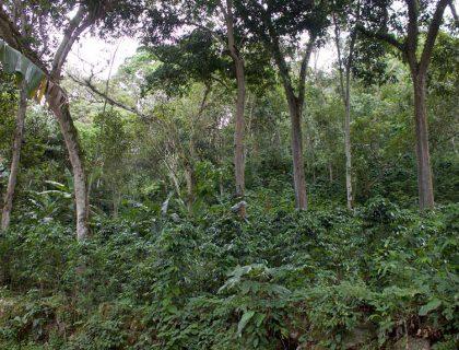 seccion-cultivo1-kafe-loma-verde