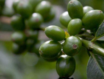 seccion-cultivo2-kafe-loma-verde
