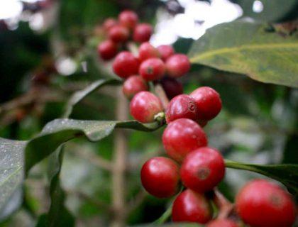 seccion-cultivo5-kafe-loma-verde