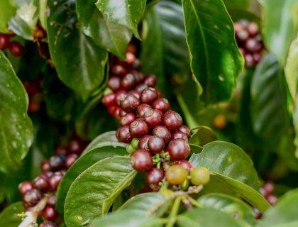 seccion-cultivo6-kafe-loma-verde